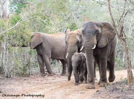 Elephant Family by Okavanga