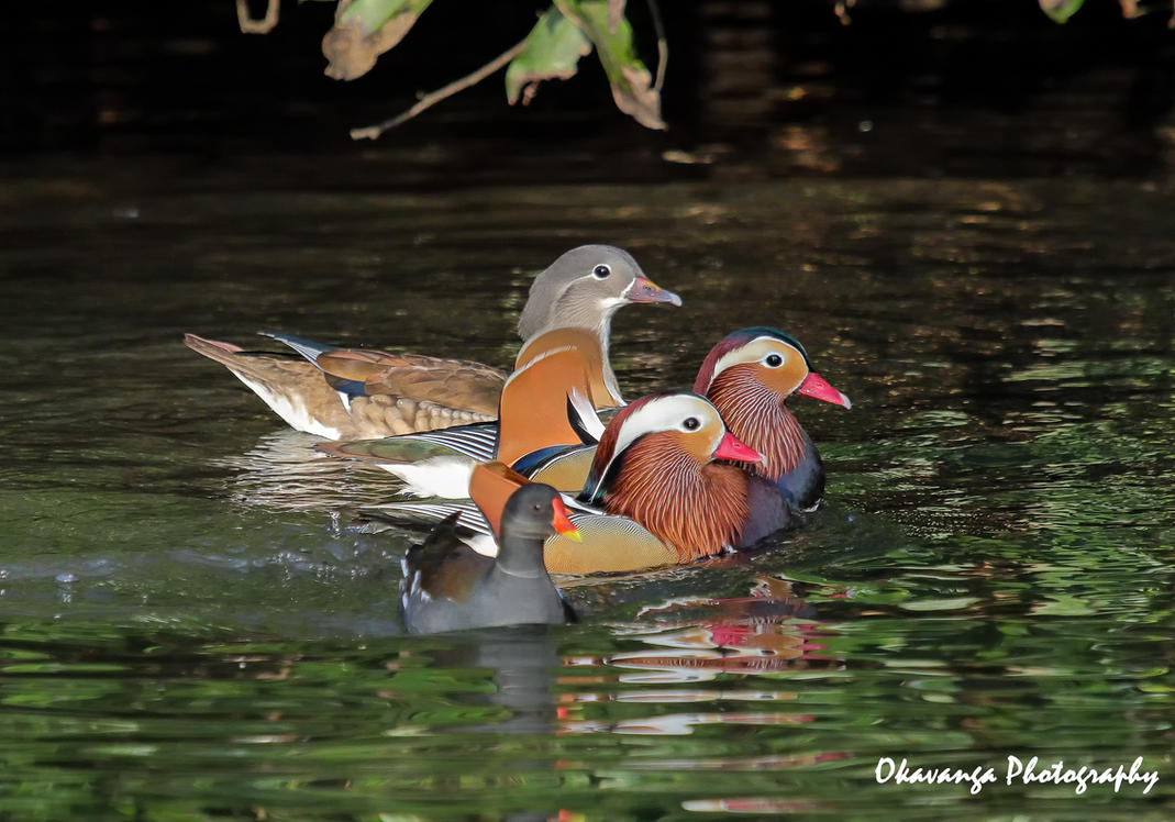 Mandarin Rivals by Okavanga