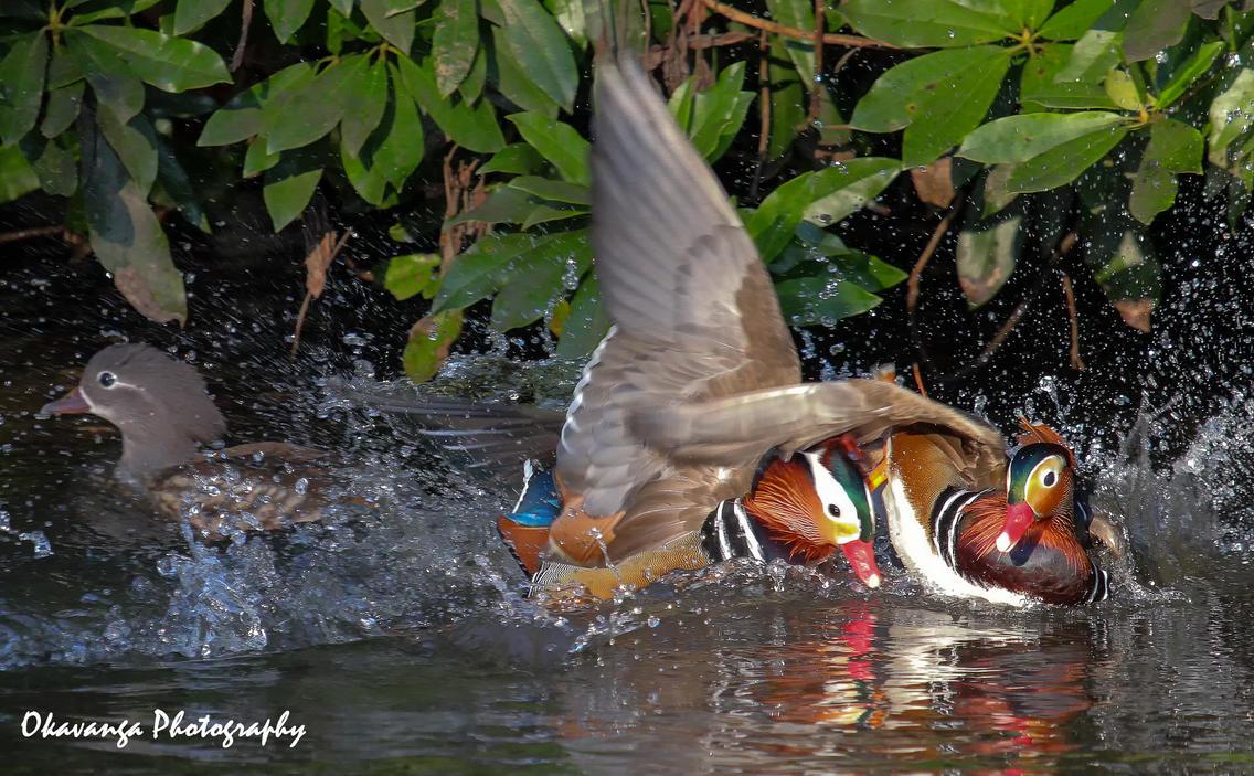 Mandarin Fight by Okavanga