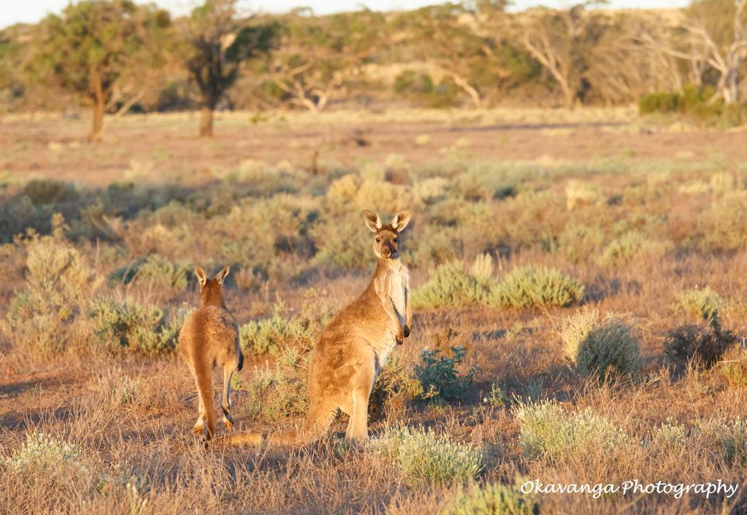 Kangaroo Escape by Okavanga
