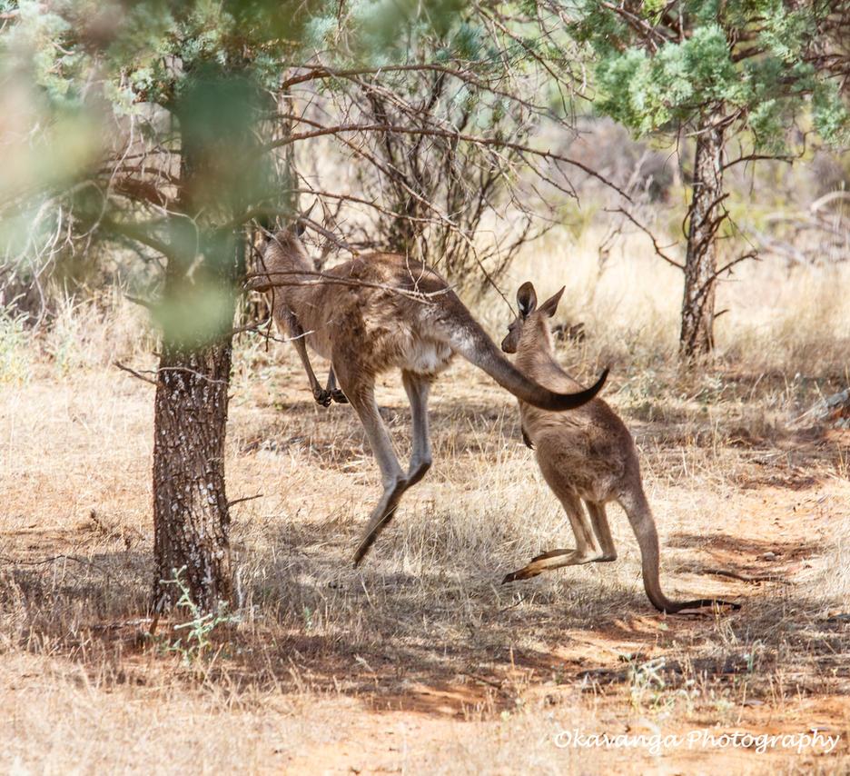 Kangaroo Flight by Okavanga
