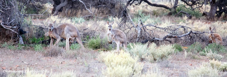 Kangaroo Family by Okavanga
