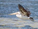 Pelican in Flight by Okavanga