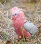 Galah with Crest