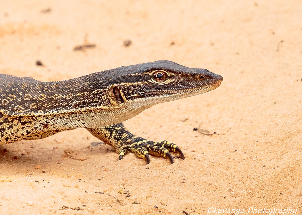 Sand Goanna Close-Up by Okavanga