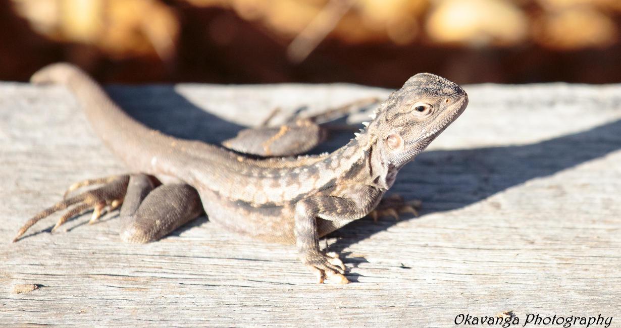 Dragon 2 by Okavanga