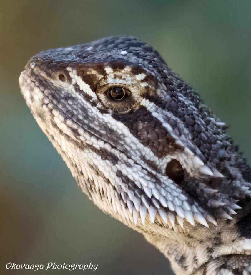 Bearded Dragon Close-Up by Okavanga