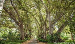 Moreton Bay Fig Trees