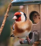 Goldfinch Female (?) 2