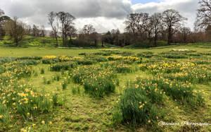 Bodnant Old Park Daffodils by Okavanga