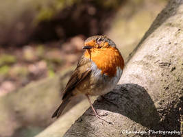 One-Eyed Robin Left View - Hare Hill by Okavanga