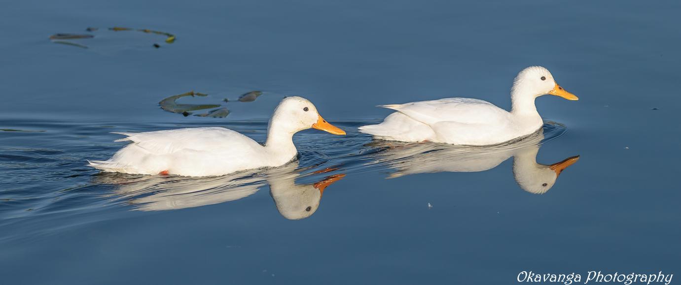 Pekin Ducks by Okavanga