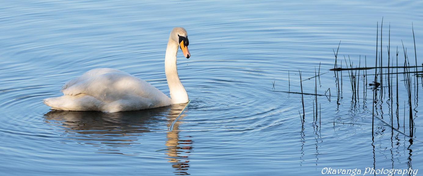 Swan with Reeds by Okavanga