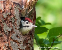 Greater Spotted Woodpecker Fledgling by Okavanga