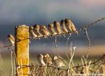 Sparrow (?) Parade