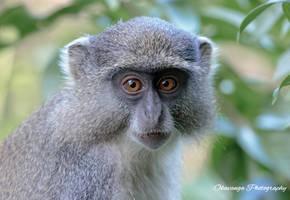 Samango Portrait 1 by Okavanga