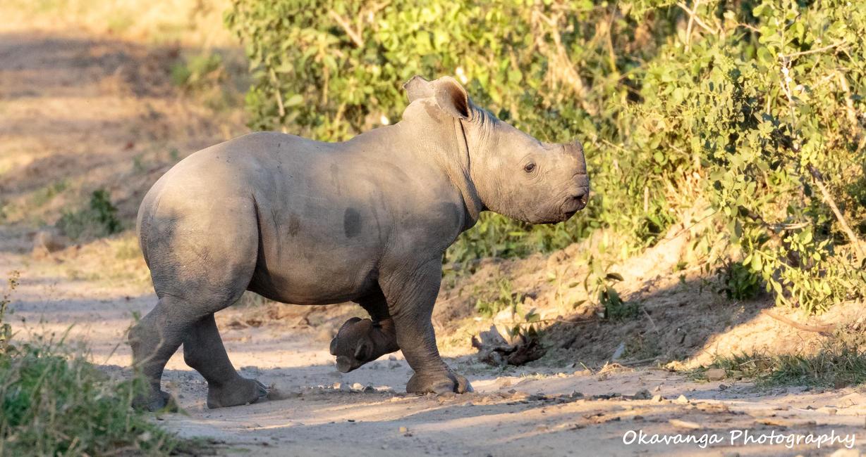 Rhino Calf by Okavanga