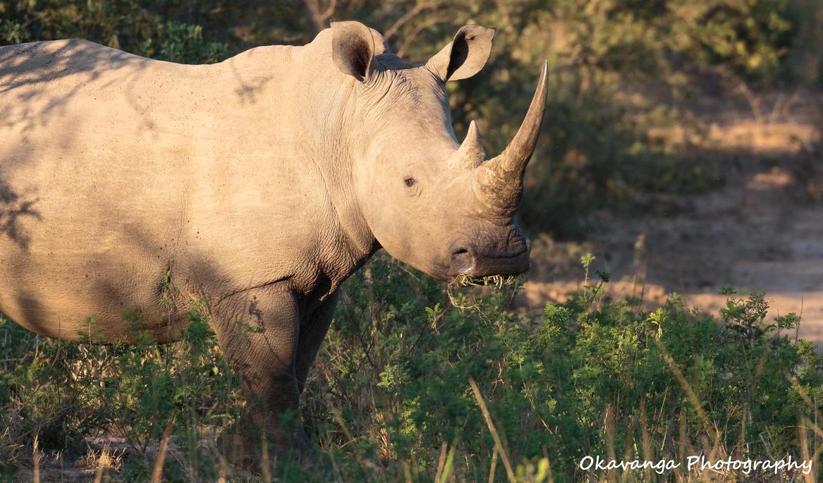 Watchful Rhino by Okavanga