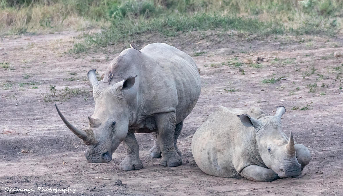 Rhino Mum and Calve. by Okavanga