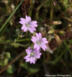 Small-flowered Cranesbill(?)