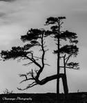 Lonesome Pines, Cairngorms by Okavanga