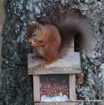 Red Squirrel, Cairngorms by Okavanga
