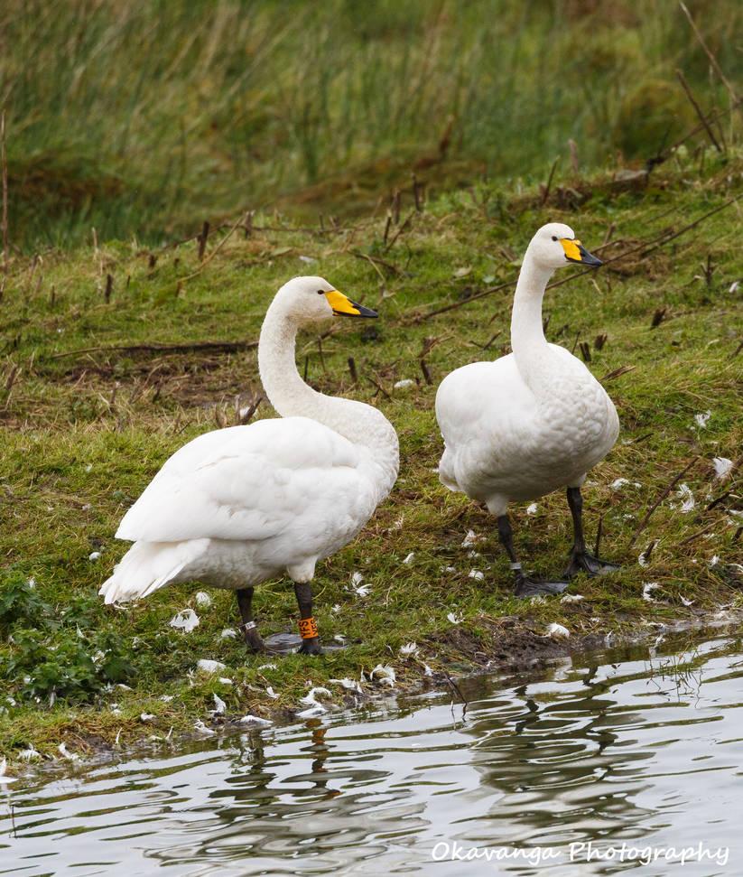 Whooper Swan Pair by Okavanga