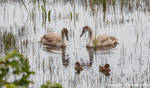 Young Mute Swans with Widgeon