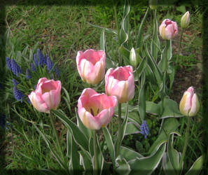 Pink Tulips by Glimmerville