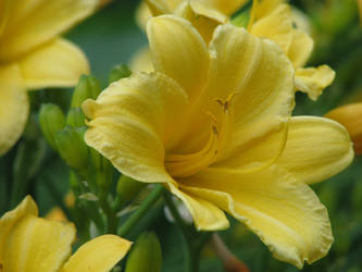 Big yellow lily