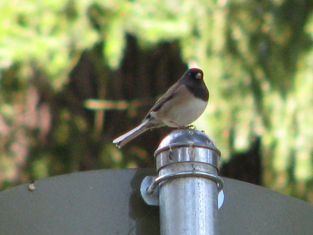 Dark Eyed Junco of Oregon by skbrainstorm42