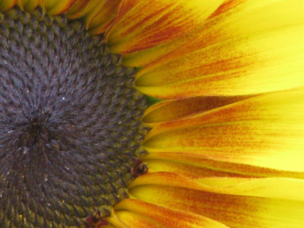 Summer sunflower by skbrainstorm42