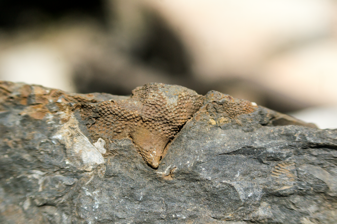Possible Bryozoan - Mahantango Formation PA by KubusRubus