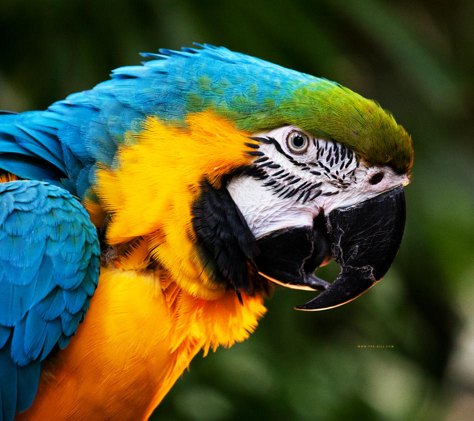 Parrot by The-Gill