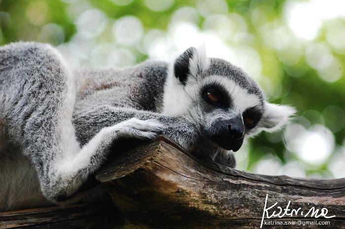 Tailed lemur by KatrinaSwinnley