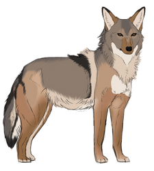 coyote by staqhound