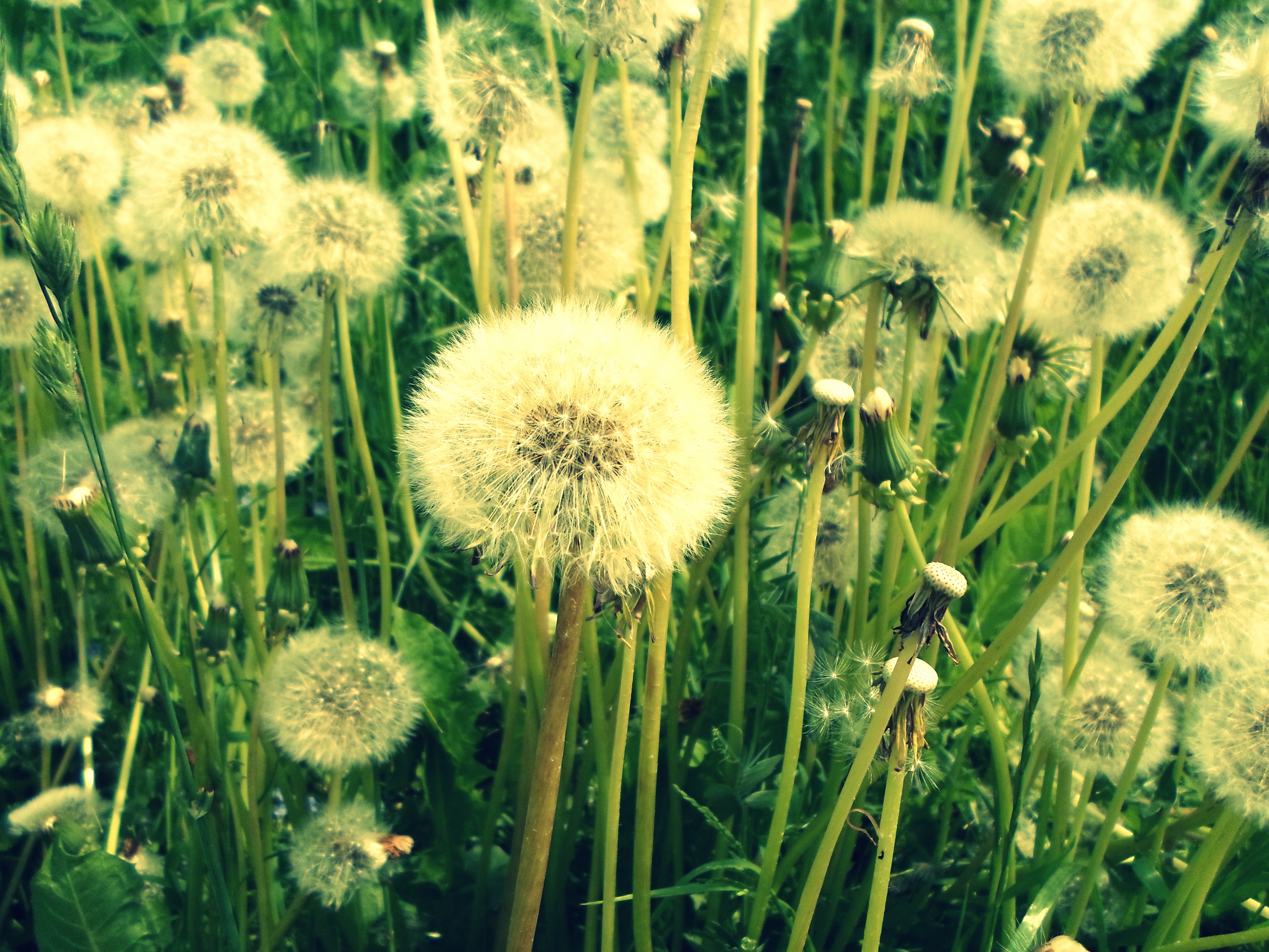 Dandelions by drunkbunneh