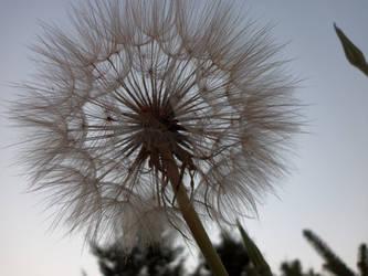 Dandelion by littlemouse015