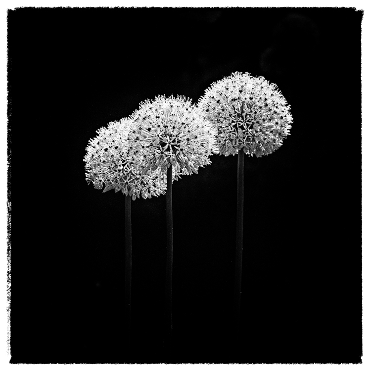 Allium 02 by HorstSchmier