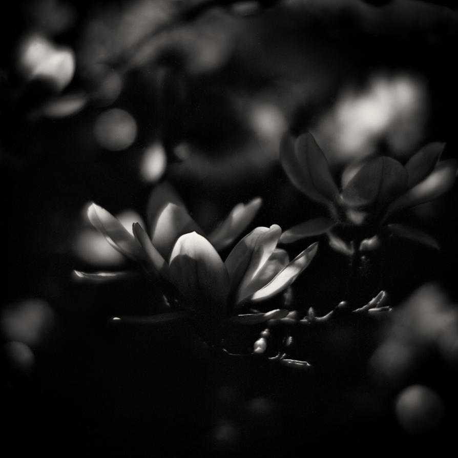 Magnolia Soulangiana 03 by HorstSchmier