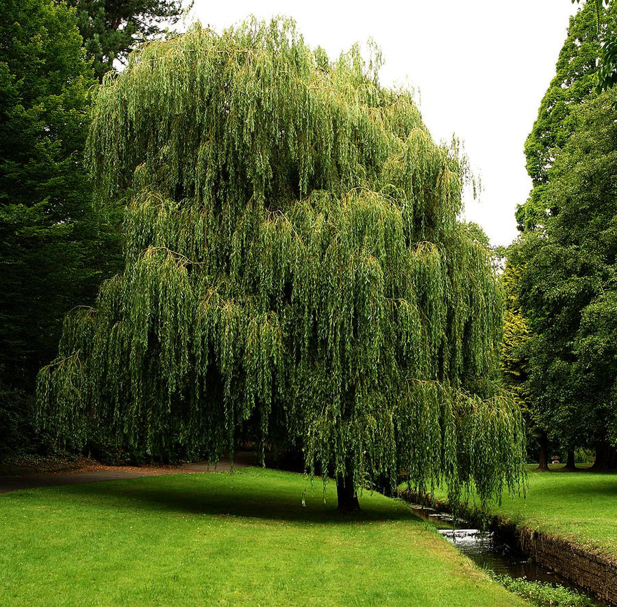 Weeping willow 3 by awjay on deviantart for Tree planting