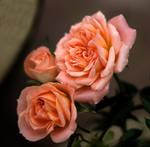 rosa by awjay