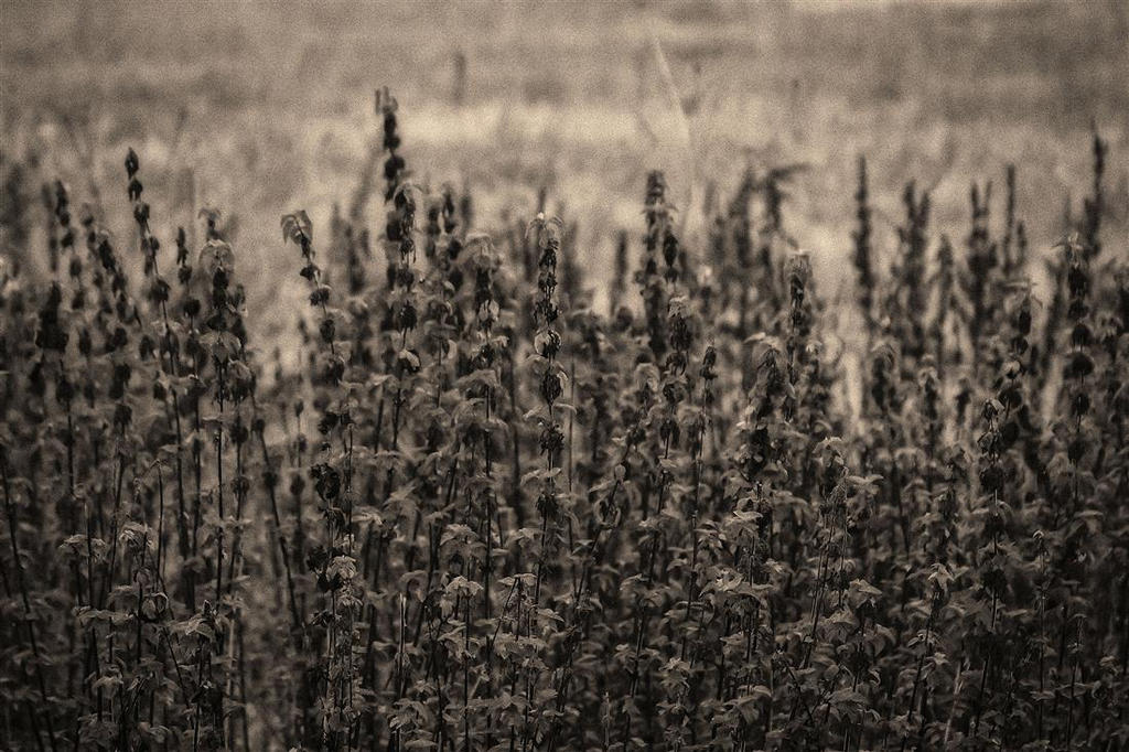 nettle patch by awjay
