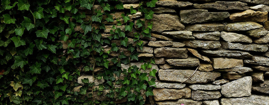 dry and ivy by awjay
