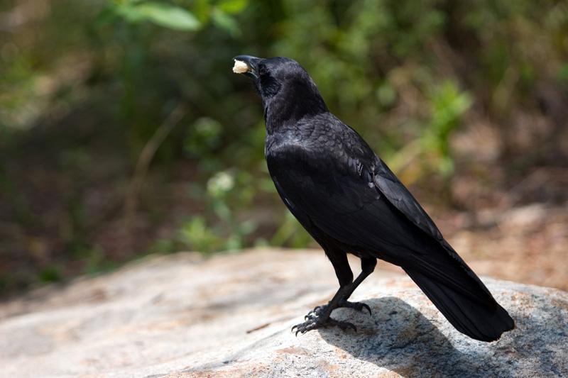 crow by Sp00ksMage