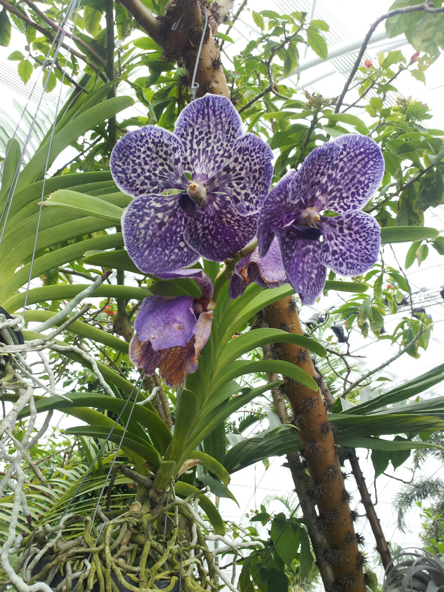 http://fc08.deviantart.net/fs71/i/2012/236/3/2/purple_vanda_orchids_by_metacharis-d5camco.jpg