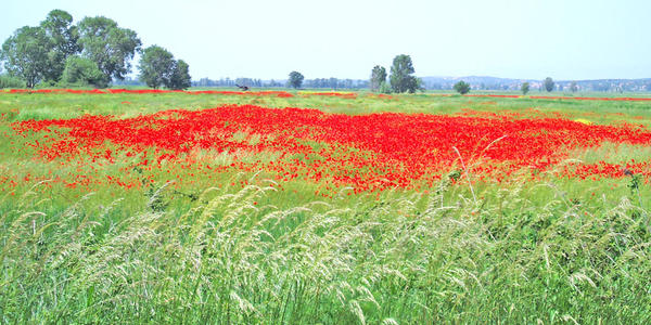 Field of Poppies by VanaJewelry