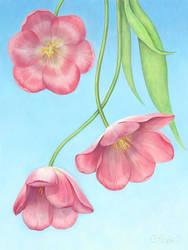 Tulips by Alvor