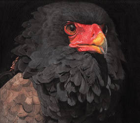 Bateleur Eagle Portrait by LittleFlashes