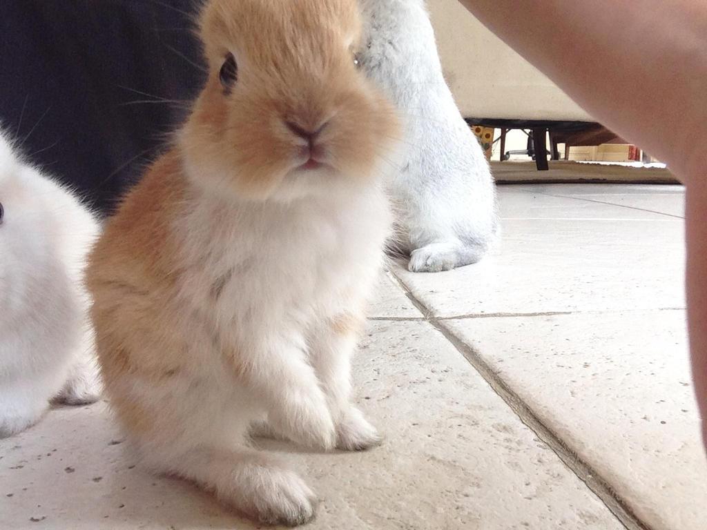 baby lionhead rabbit by Miyuki-Hawkeye07